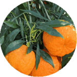 Экстракт апельсина горько есть в Диетонусе