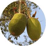 Плод адансонии есть в составе нео слима