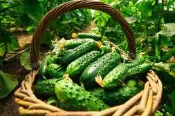 Средство AgroUp помогает плодам созревать с лета до глубокой осени.